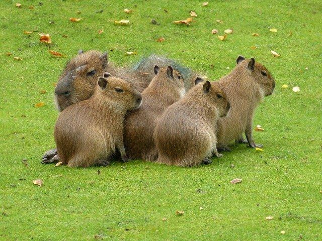 mláďata kapybary