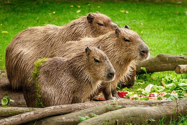 tÅ™i kapybary