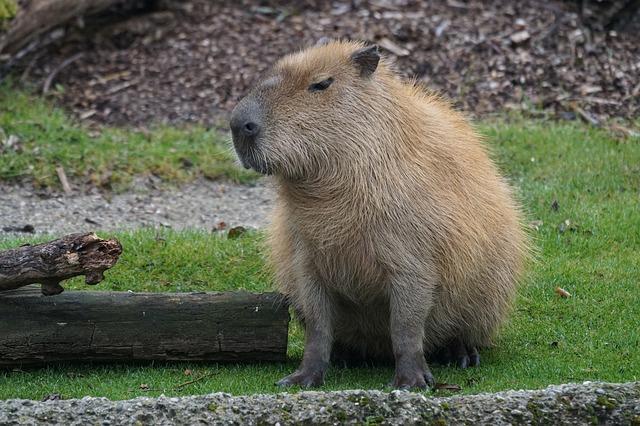 sedící kapybara