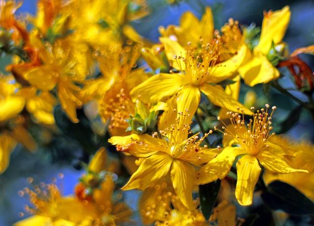 květy třezalky